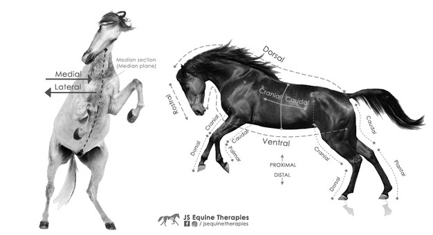 Directional Terminology of the Horse