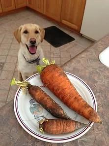 cachorro pode comer cenoura?