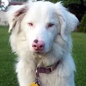 cachorro com albinismo parcial