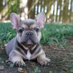Vanguard Frenchies French Bulldog Puppies For Sale Houston Tx