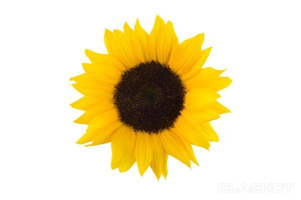 sunflower white background watermark