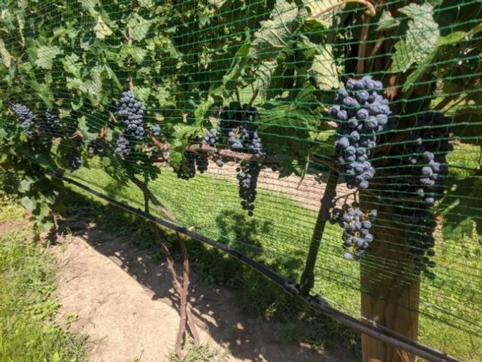 Red Grapes with Vineyard Side Netting