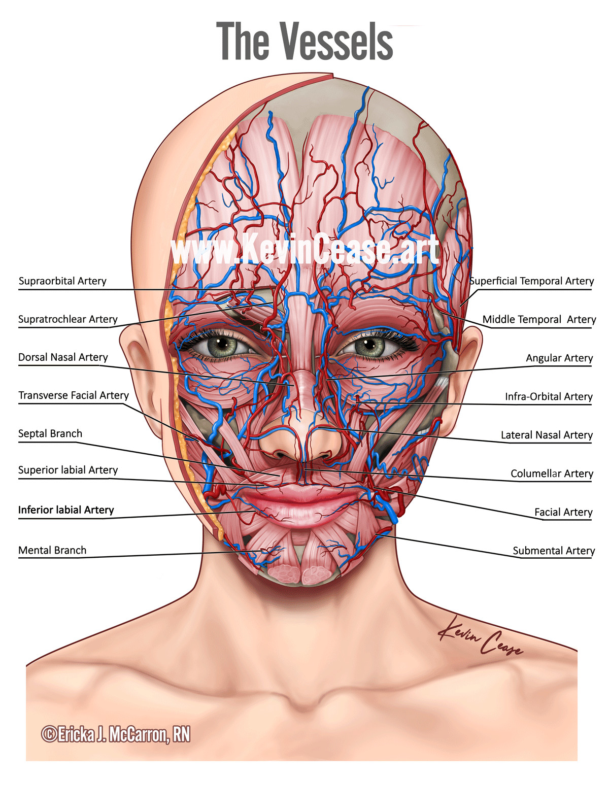 hight resolution of botox diagram