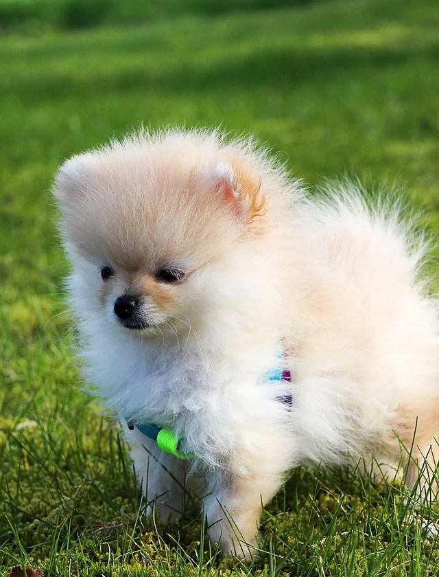 Mini Pom Dog : Teacup, Pomeranian, Puppies