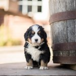 Bernese Mountain Dog Puppies United States Maumee Berners