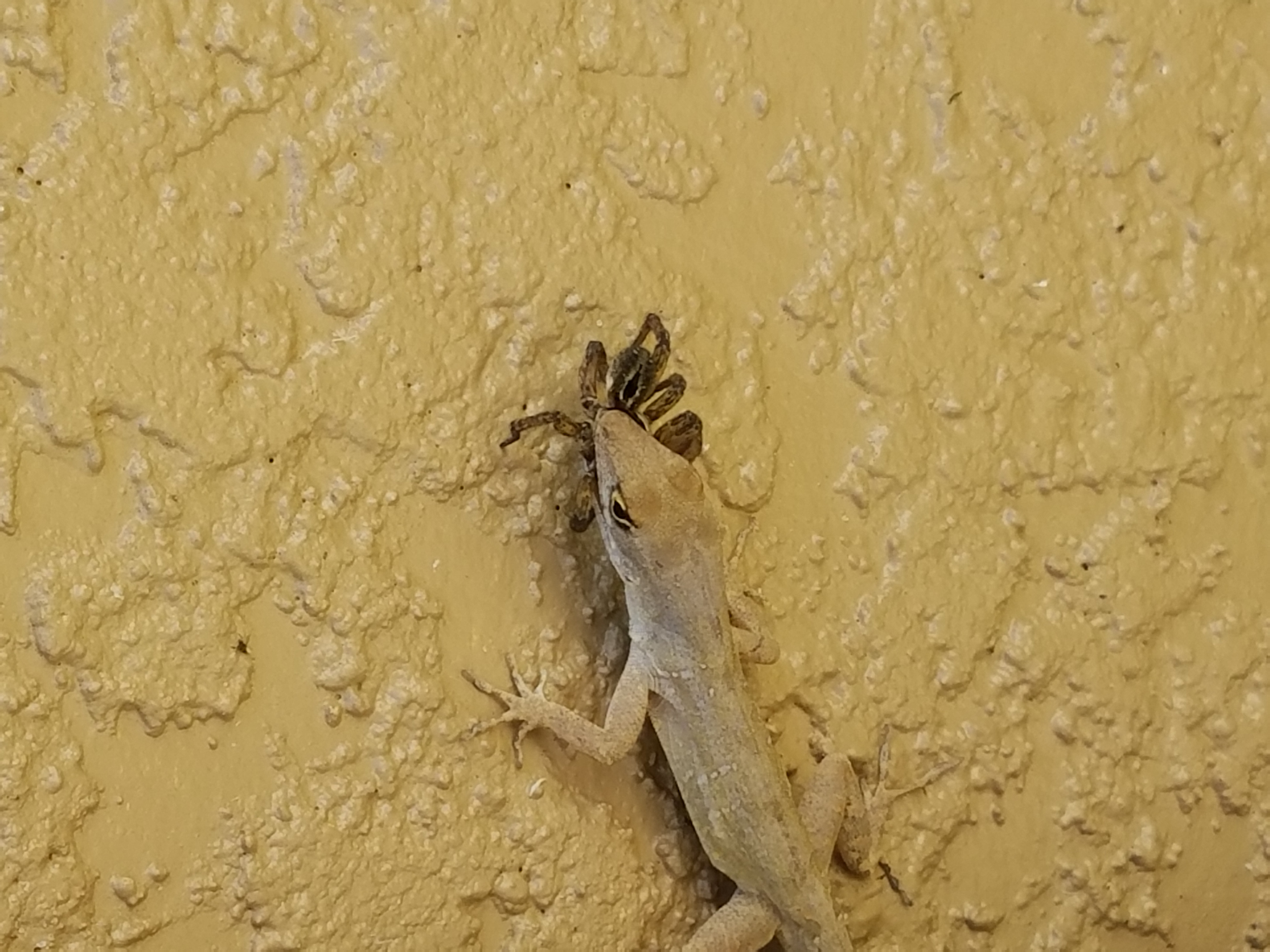 Florida Invasive Species The Brown Anole Invasion