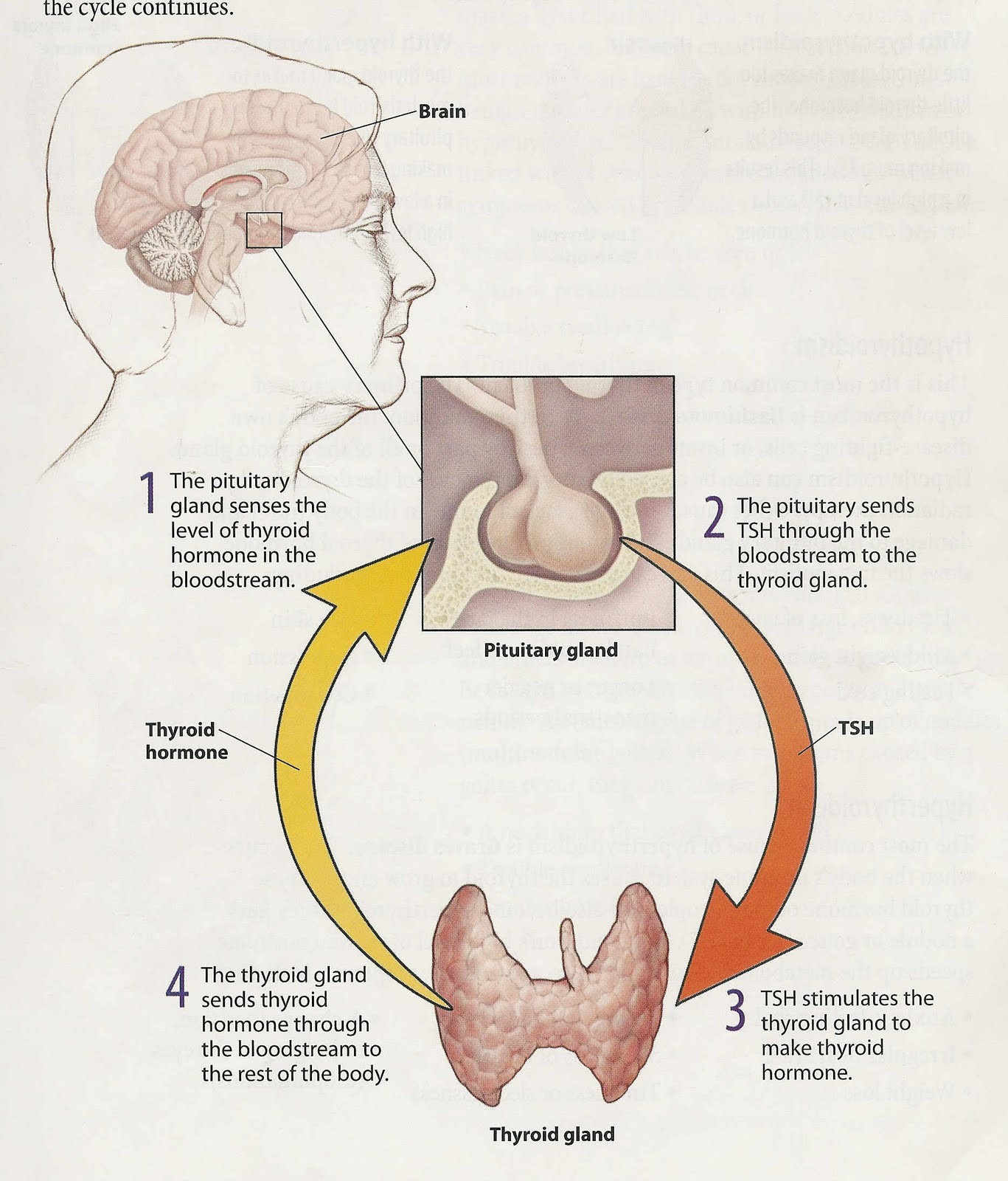 hight resolution of diagram of the thyroid gland