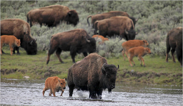 deal puts yellowstone bison