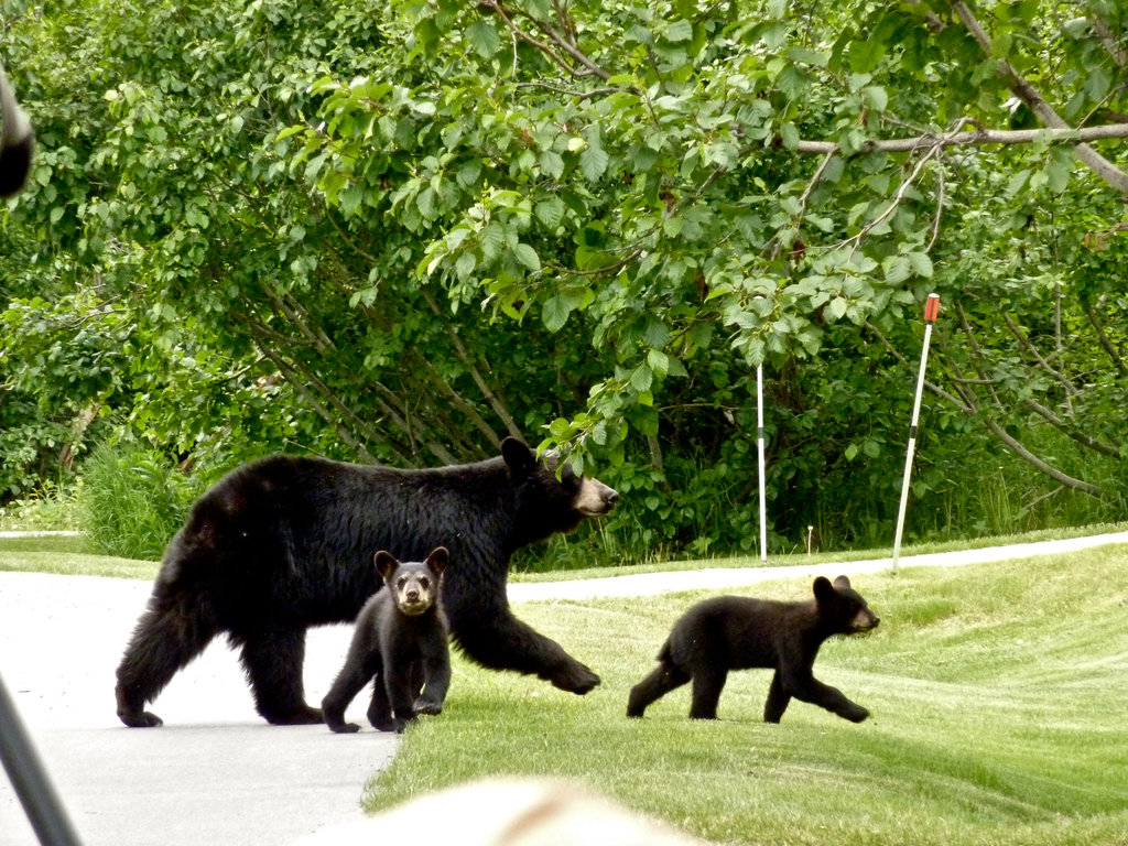 black bear study upends