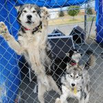 Many Animal Lovers Now See American Kennel Club As An Outlier The New York Times