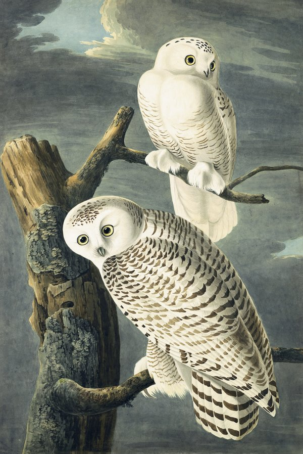 Flock Of Owls : flock, Audubon's, Aviary', New-York, Historical, Society, Times