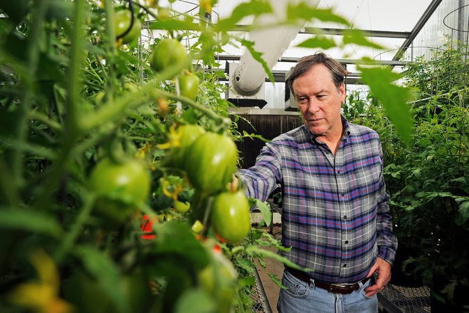 Building a Better MassMarket Tomato  The New York Times