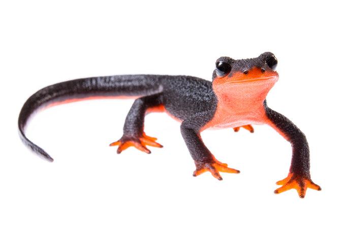 Wild Salamanders Pets