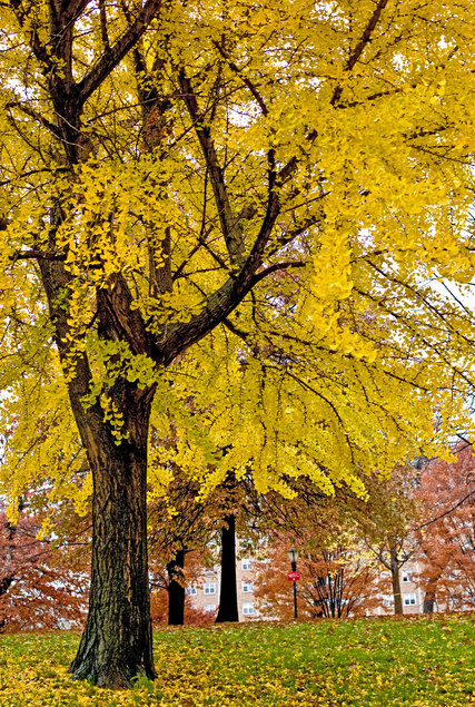 High Resolution Wallpaper Fall Leaves The Female Ginkgo Tree S Acrid Smell Of Success The New