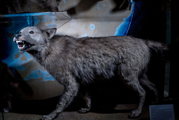 Janeiro 2016 uma incerta antropologia a wolf on display at the oxford museum of natural history andrew testa for the new york times fandeluxe Images