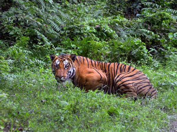 number of tigers in