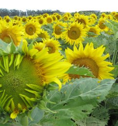 how sunflowers follow the sun day after dayhow sunflowers follow the sun day after day [ 1024 x 768 Pixel ]