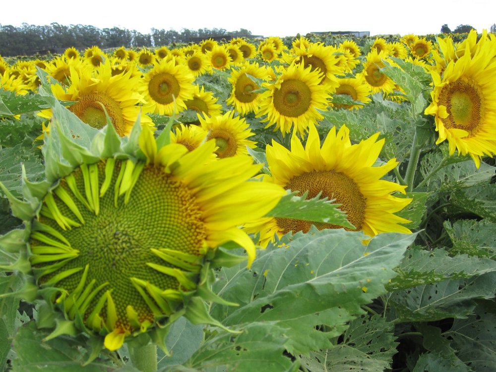 medium resolution of how sunflowers follow the sun day after dayhow sunflowers follow the sun day after day