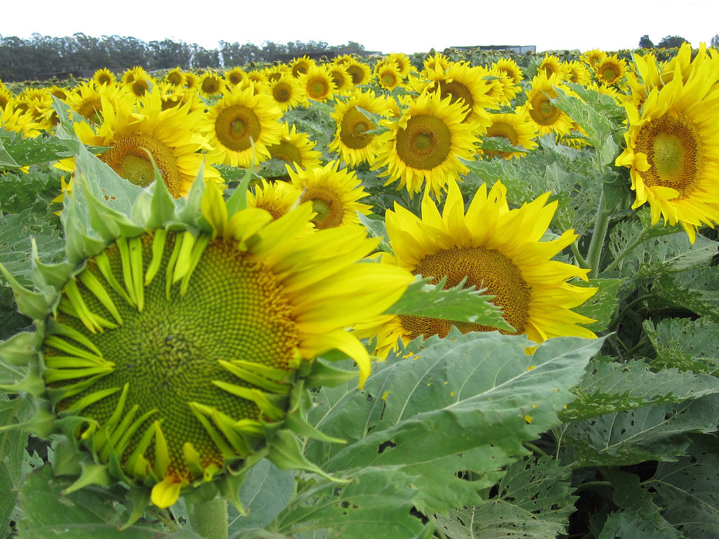 hight resolution of how sunflowers follow the sun day after dayhow sunflowers follow the sun day after day