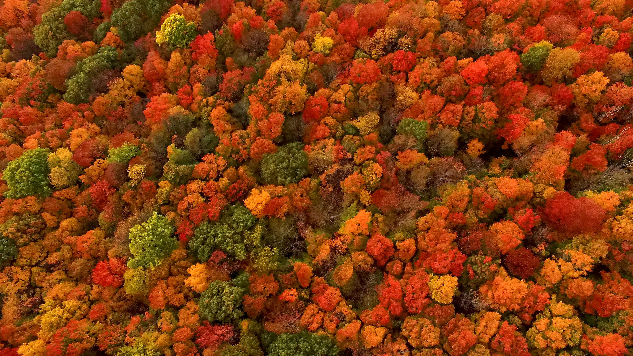 Why Does Fall Foliage Turn So Red And Fiery? It Depends