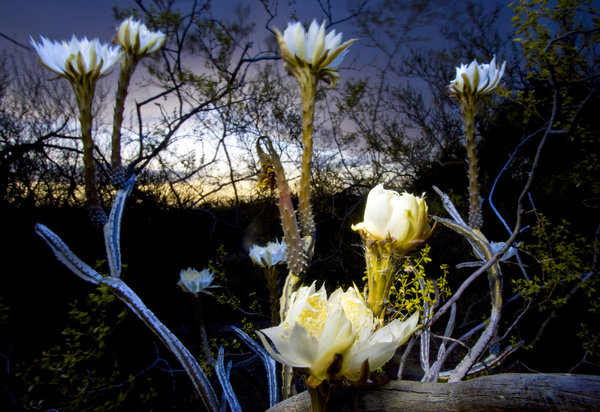 One Night A Year This Cactus Flower May Surprise You