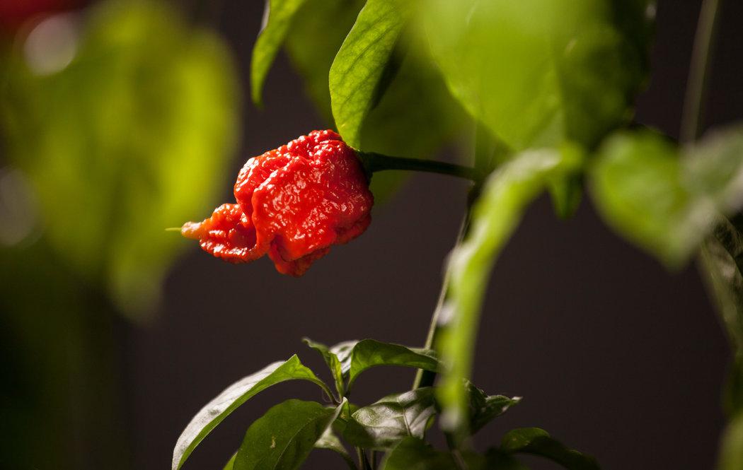 吃了世界上最辣的辣椒會怎樣? - 紐約時報中文網