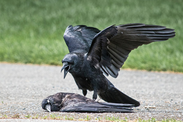 Why Are Some Crows Committing Acts Of Necrophilia The New York Times
