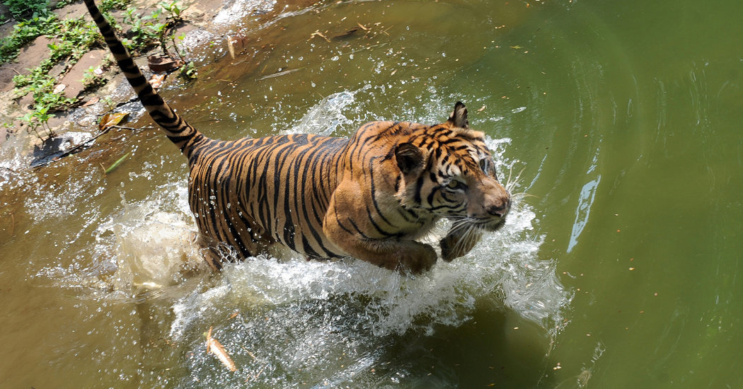 Divide And Preserve Reclassifying Tigers To Help Save