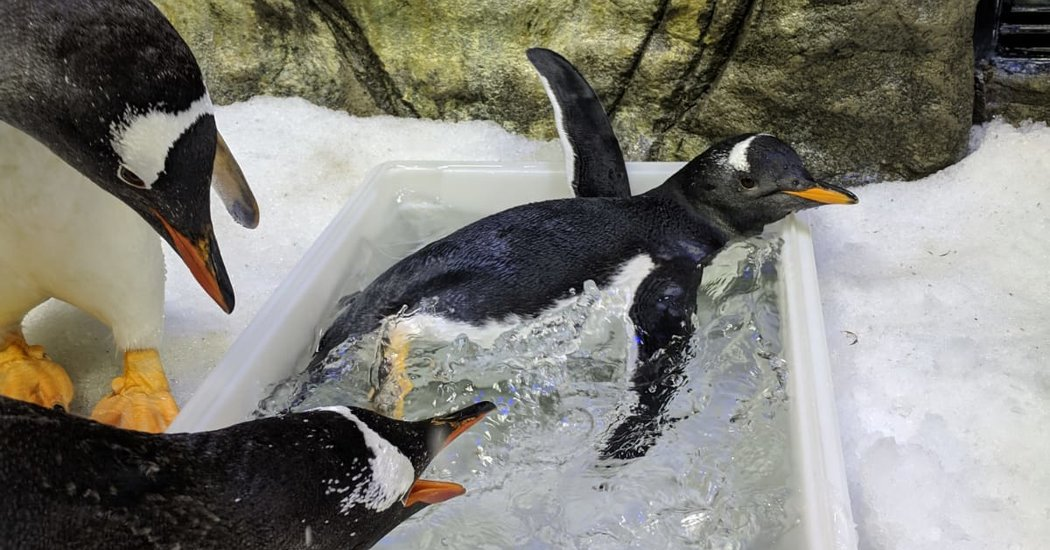 The Gay Penguins of Australia  The New York Times