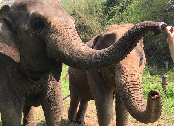 elephants may sniff out