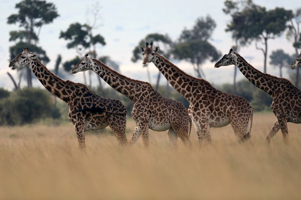 giraffes get new protections