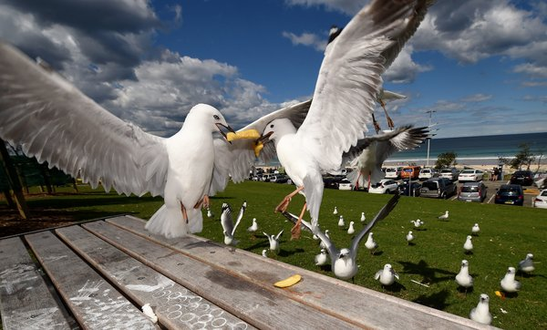 Gulls competing for a french fry at Bondi Beach, Australia.