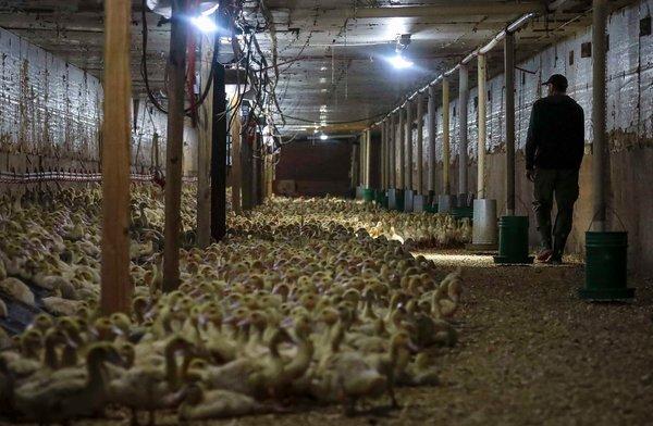 In Hudson Valley Foie Gras, einer Farm in Ferndale, NY, stammen etwa 30 Prozent ihres Geschäfts aus New York City.