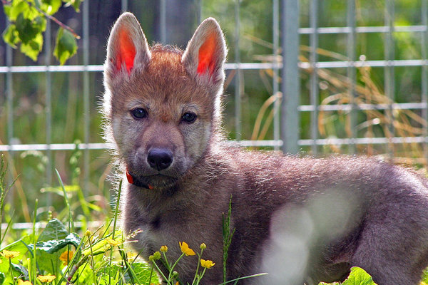 What Wolf Pups That Play Fetch Reveal About Your Dog The