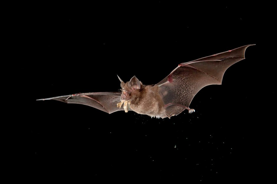 How Do Bats Live With So Many Viruses? - The New York Times