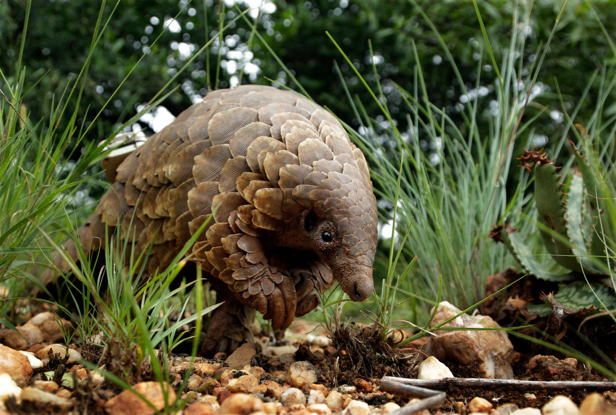 Pangolins Are Suspected as a Potential Coronavirus Host - The New ...