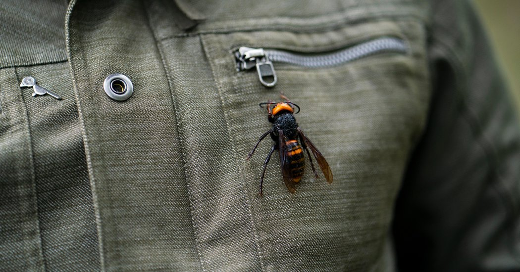 The Asian Giant Hornet Resurfaces in the Pacific Northwest