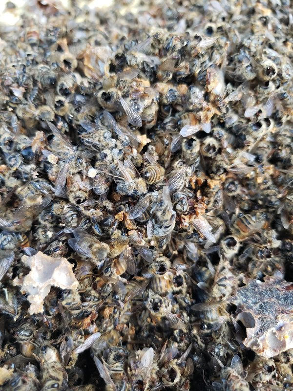 The members of Ted McFall's beehive near Custer, Wash., had their heads torn from their bodies.