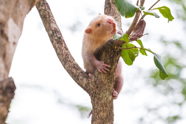 A lesser bamboo rat in Thailand.