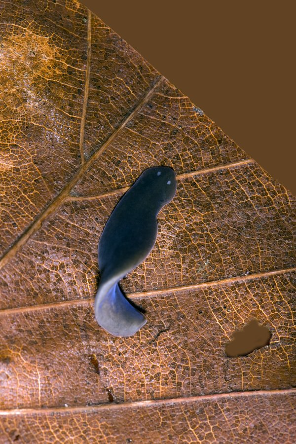 An example of a freshwater planarian, Dugesia lugubris.
