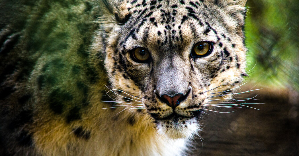 Snow Leopards Are the Latest Cats to Get the Coronavirus