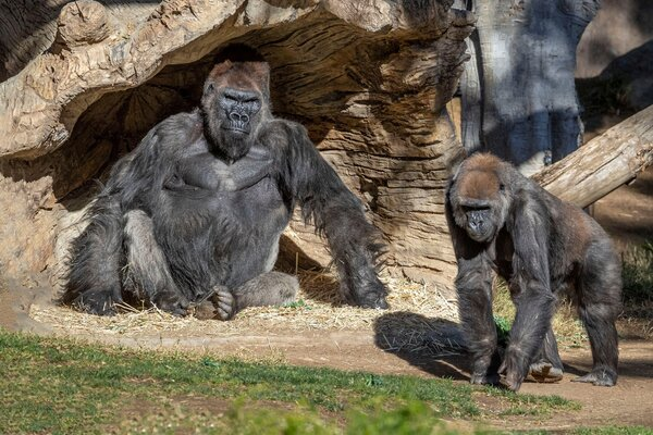 Gorillas at the San Diego Zoo Safari Park in January. Several members of the troop tested positive for the virus, with symptoms including congestion and coughing.