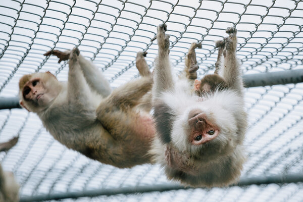 Rhesus macaques are the primary species of monkey that are bred at the Tulane University National Primate Research Center in Covington, La.