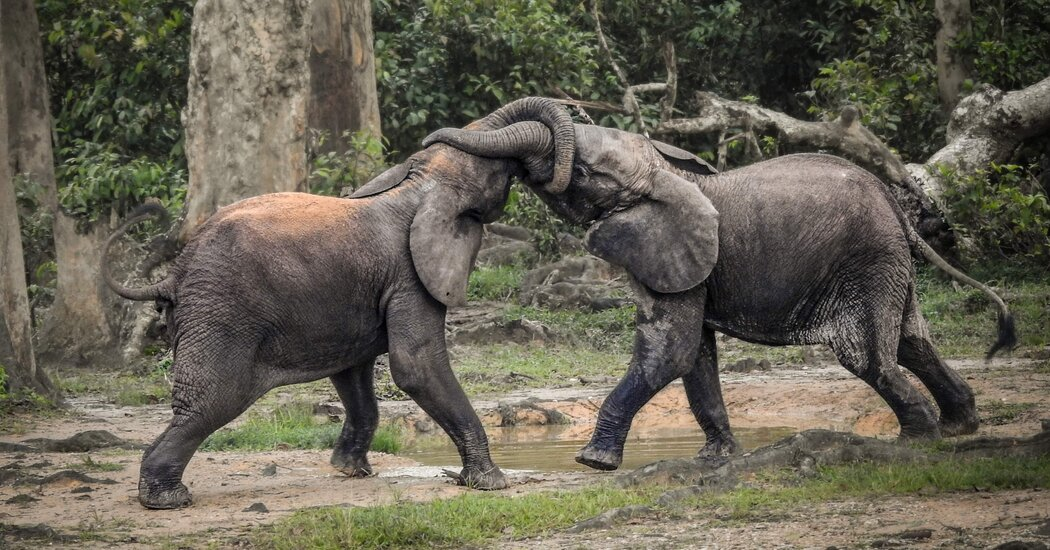 Some Elephants in Africa Are Just a Step From Extinction