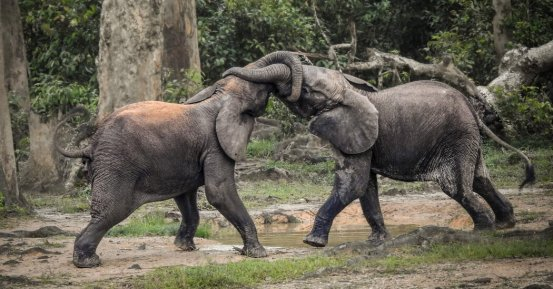 Some elephants in Africa are just one step away from extinction