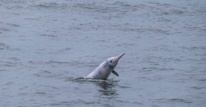 Pink Dolphins in Hong Kong Find Rest Thanks to the Coronavirus