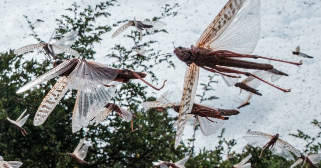 As Locusts Swarmed East Africa, This Tech Helped Squash Them