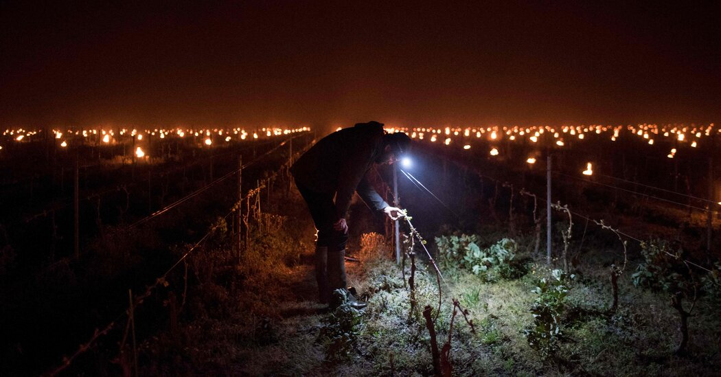 French Wine Production Ravaged by a Devastating Frost