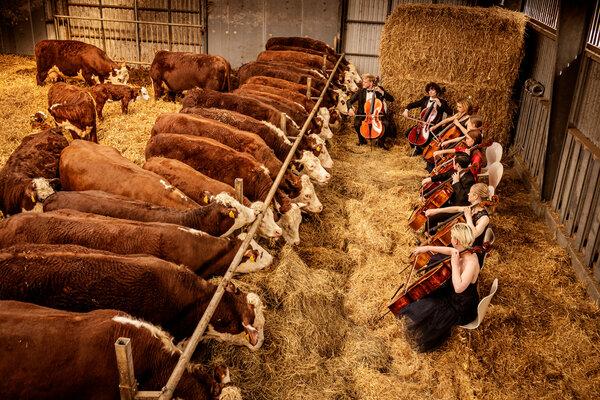 """""""La música clásica es muy buena para los humanos"""", dijo Mogens Haugaard. """"Nos ayuda a relajarnos y las vacas saben si estamos relajados o no. Es lógico que ellas también se sientan bien con la música""""."""