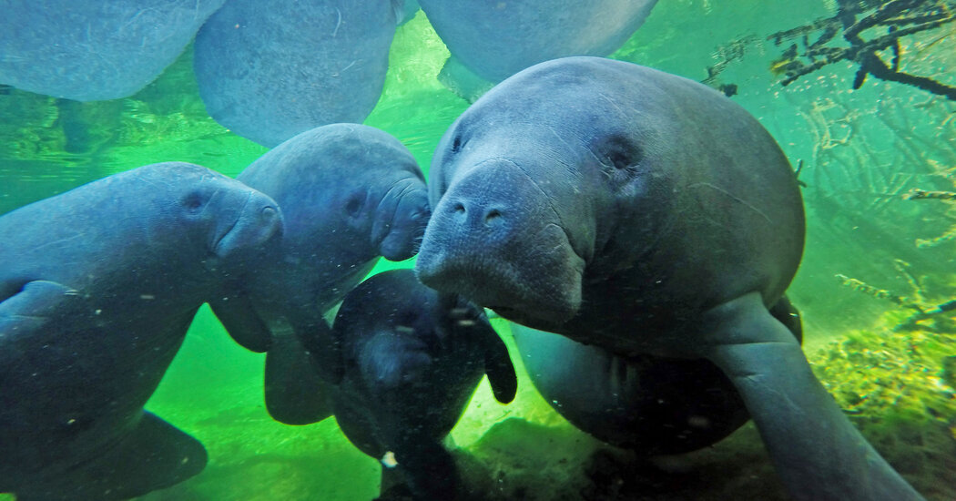 Florida Manatees Died at an Alarming Rate in the First Months of 2021